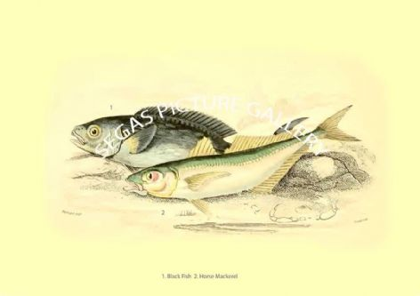 Fine art print of the Black Fish - Horse Mackerel by Robert Hamilton (1843)
